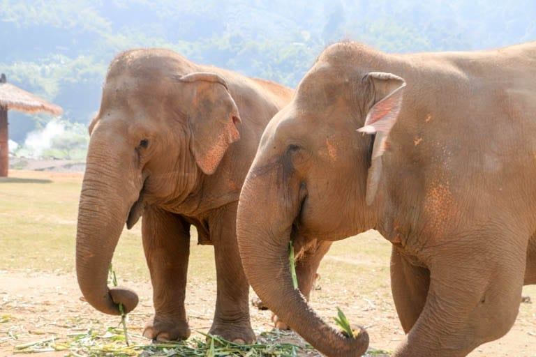 Two elephants eating at an ethical elephant sanctuary