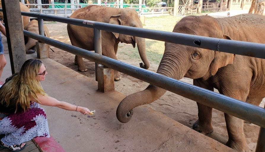 A woman feeds bananas to an elephant at an ethical elephant sanctuary in Thailand.