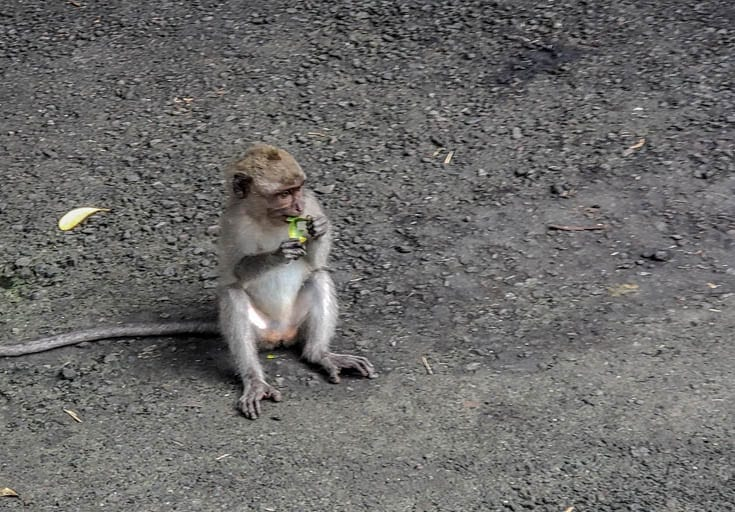 A baby monkey just living life in the Ubud Monkey Forest