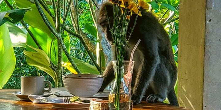 life in the ubud monkey forest