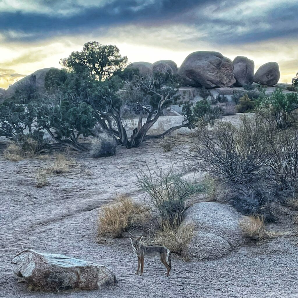 A coyote at the jumbo rocks campgrounds at joshua tree